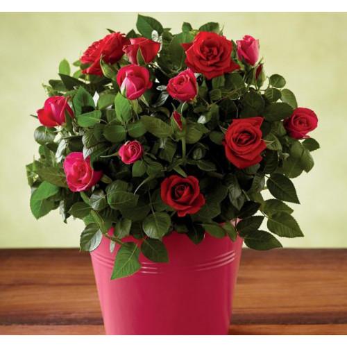 Купить на заказ Заказать Роза комнатная с доставкой по Усть-Каменогорску с доставкой в Усть-Каменогорске